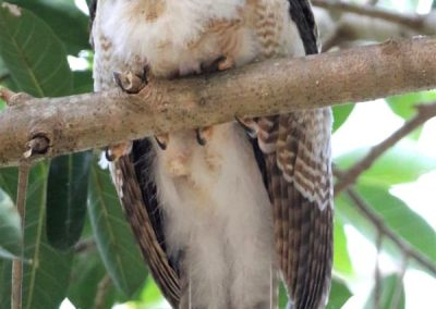 ninox rufa chick very young sleeping on branch