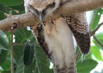 rufous owl chick fast asleep