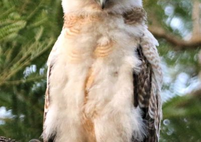 ninox rufa chick close to independence