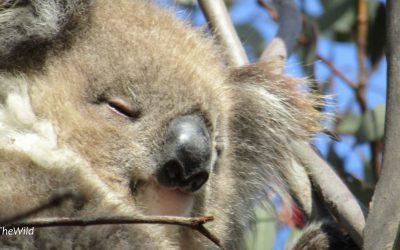 About Koala Shaz