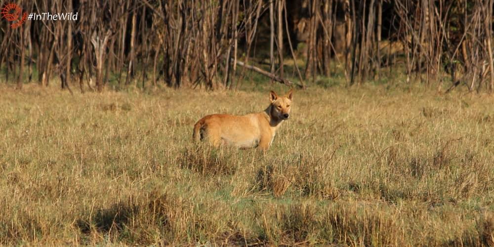 Northern Territory wildlife species seen on tour: Dingo