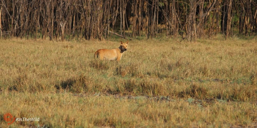 where to see wild dingoes
