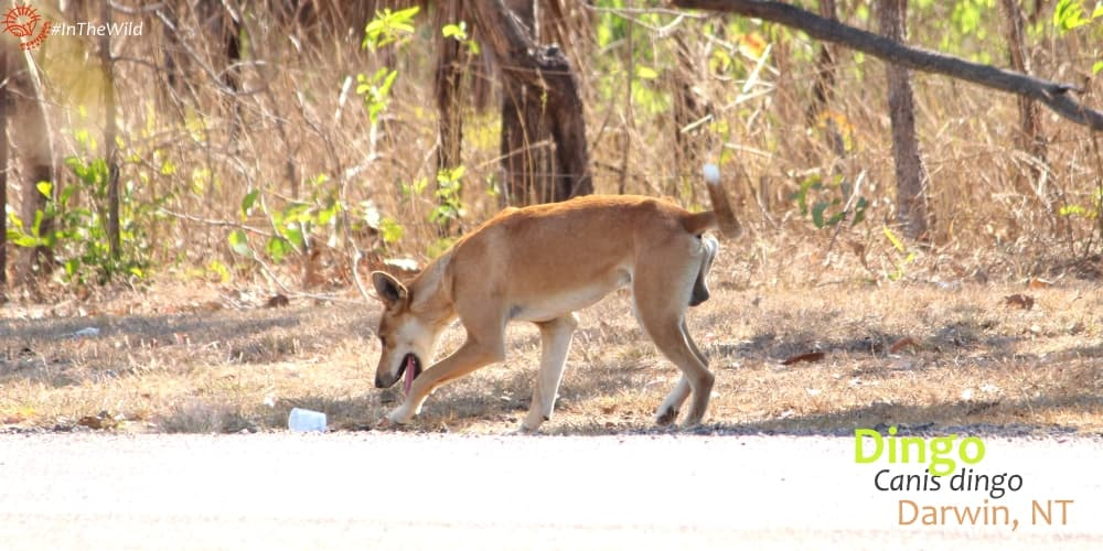 cute playful dingo Northern Territory Australia