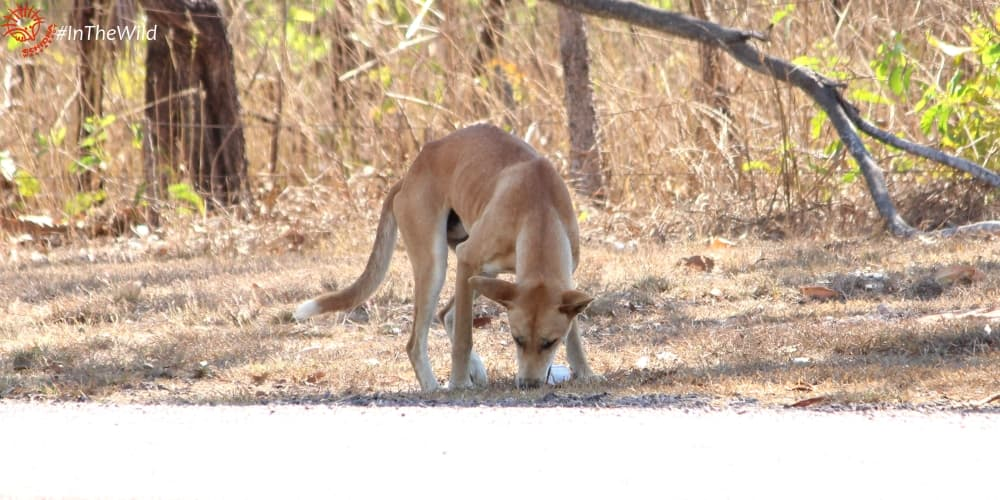 cute playful dingo Darwin Australia