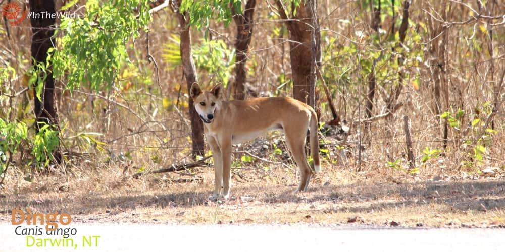 see wild dingo in Australia