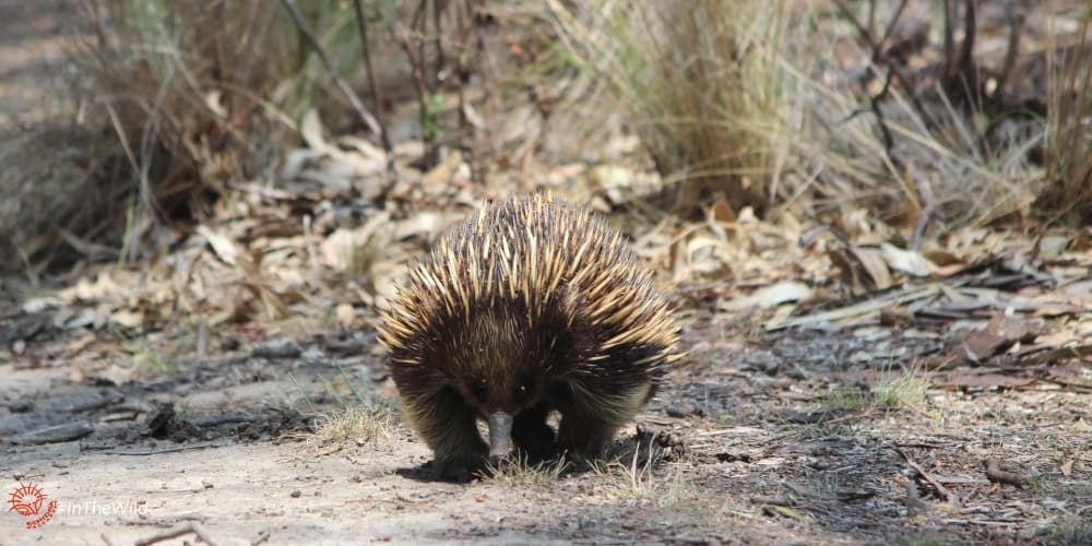 2 rules for respecting wild animals Echidna