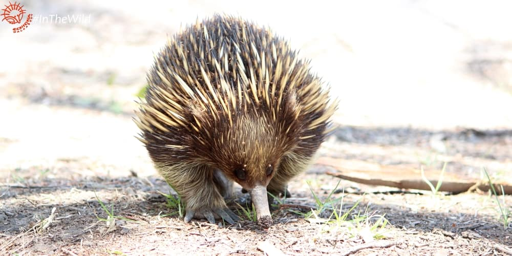 There's an Echidna in my playground! 2 rules for respecting wild animals