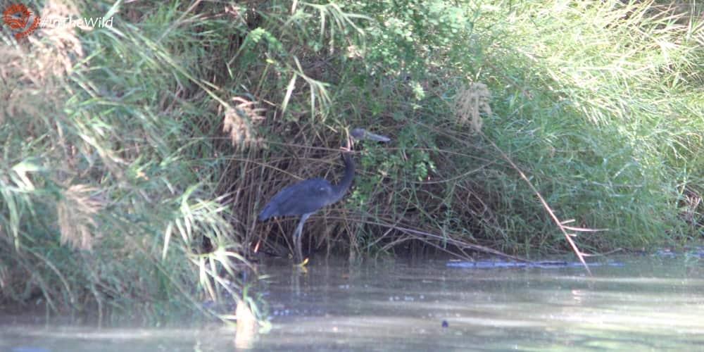 Northern Territory wildlife species seen on tour: Great-billed Heron
