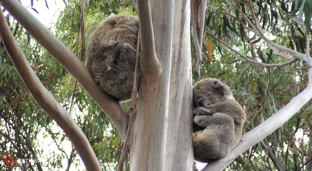 two koalas sitting together in a tree