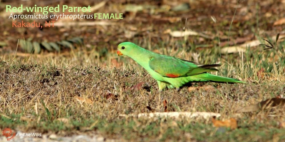female Red-winged Parrot Kakadu, Australia