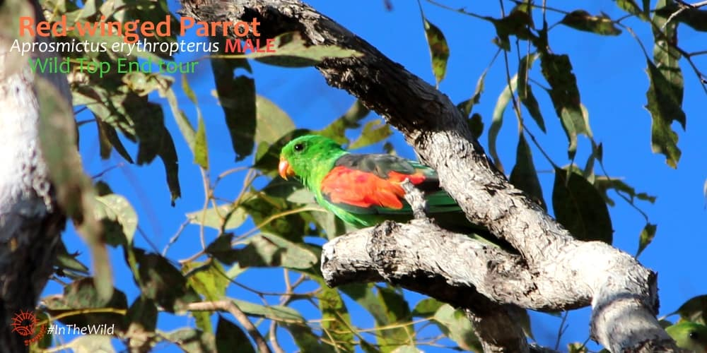 parrots of northern Australia