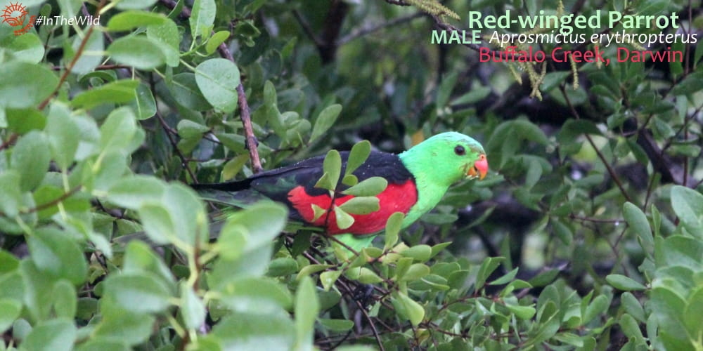 5 Amazing Facts: Red-Winged Parrots of northern Australia