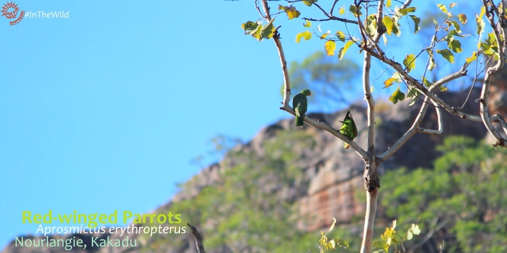 red-winged parrots of north Australia