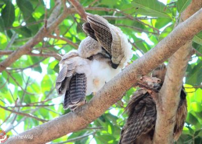 rufous owl adult and chick ninox rufa Wild Top End tour