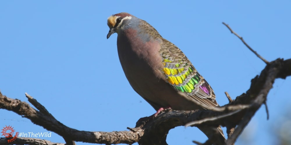 bronzewing pigeon metallic wings