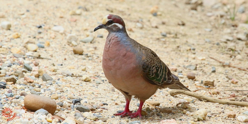 male Common bronzewing pigeon East Gippsland