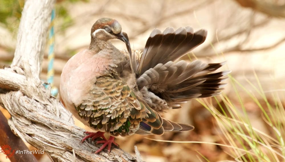 common bronzewing pigeon powder down