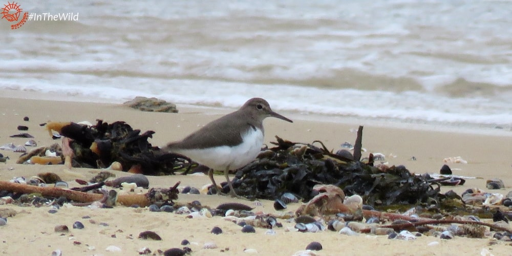 Wildlife Journey animals list  Common Sandpiper amongst kelp