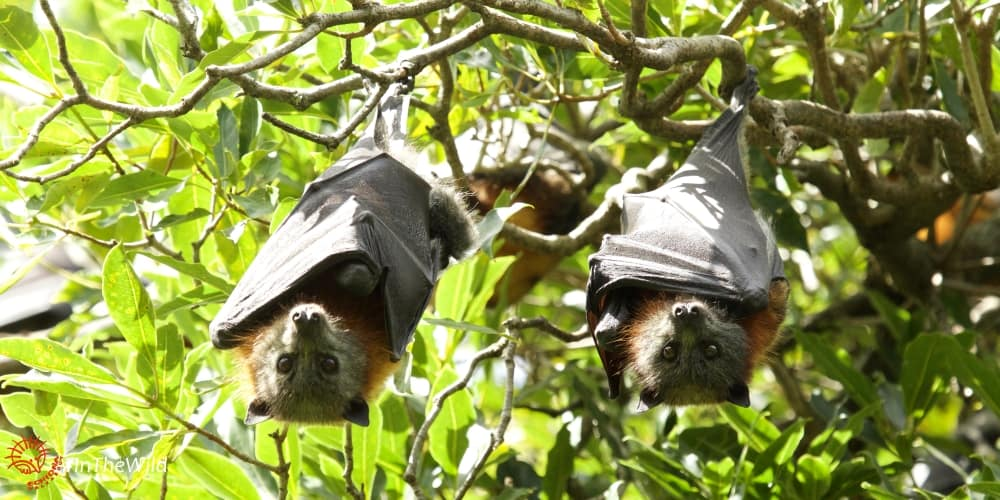 Flying-foxes: a must-see in Bairnsdale