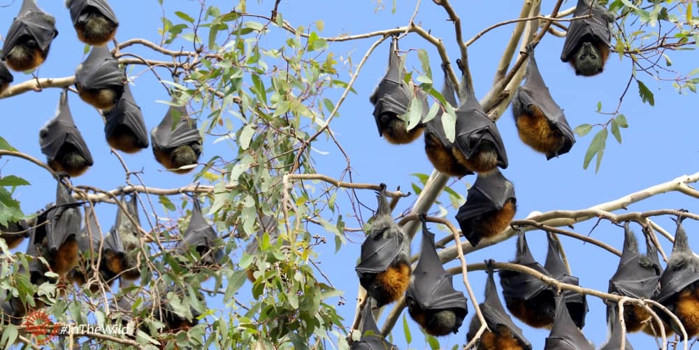 colony of Flying-foxes Bairnsdale
