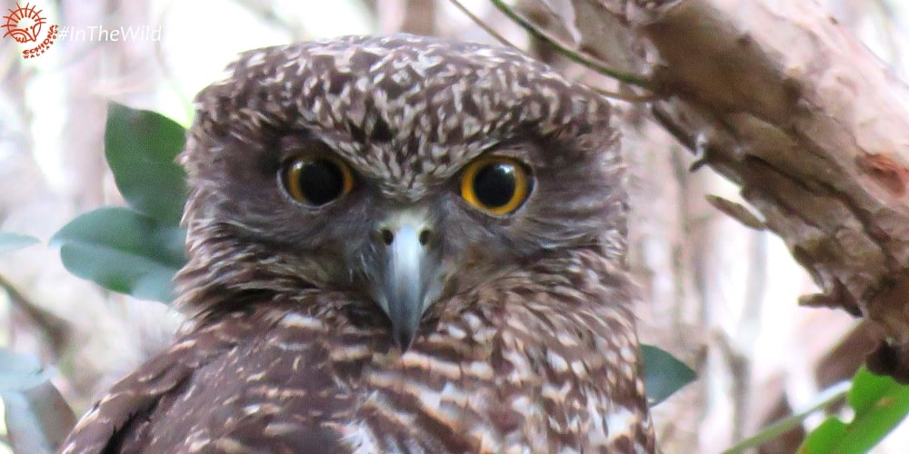 Wildlife Journey animals list Powerful Owl