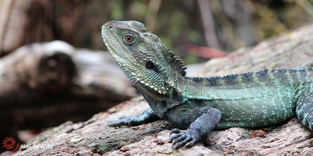 adventure with Gippsland Water Dragon