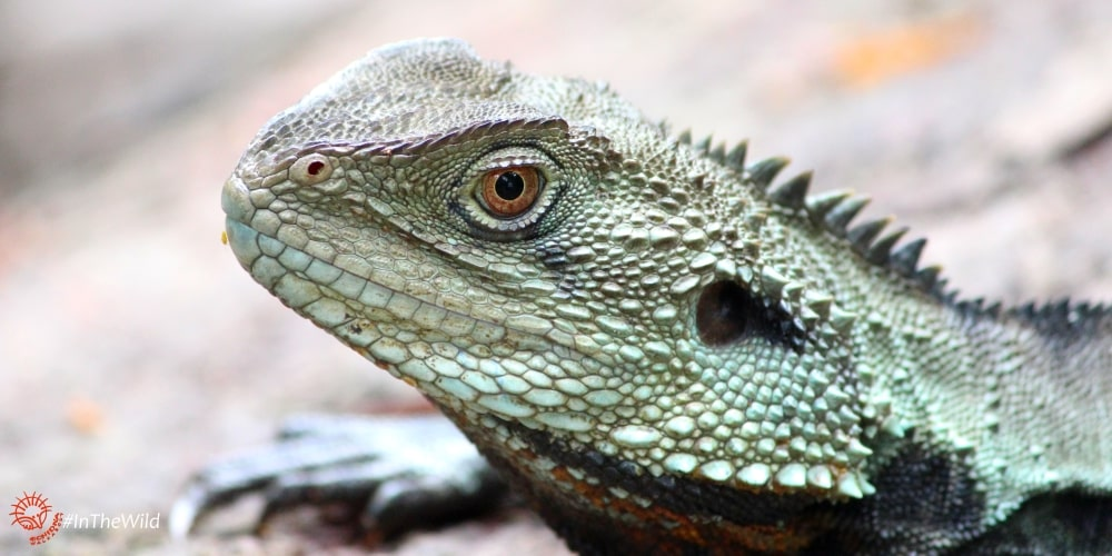 5 Fun Facts about the Gippsland Water Dragon