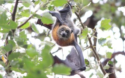 Flying-foxes: A must-see in Bairnsdale.