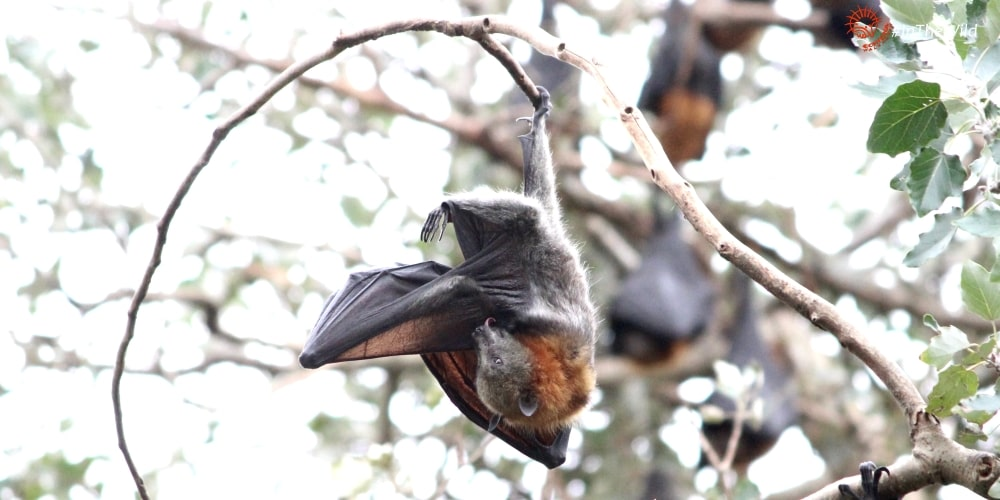Flying-fox fruit bat Bairnsdale East Gippsland