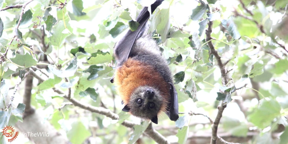 adorable Grey-headed Flying-fox Bairnsdale