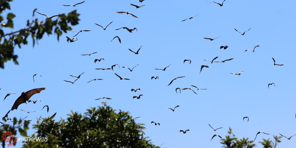 Grey-headed Flying-foxes flying Bairnsdale