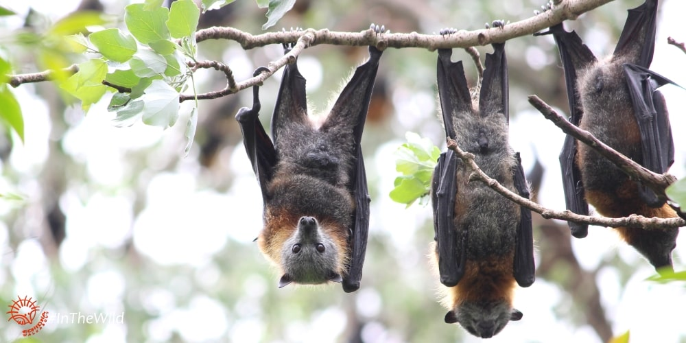 Flying-foxes Bairnsdale