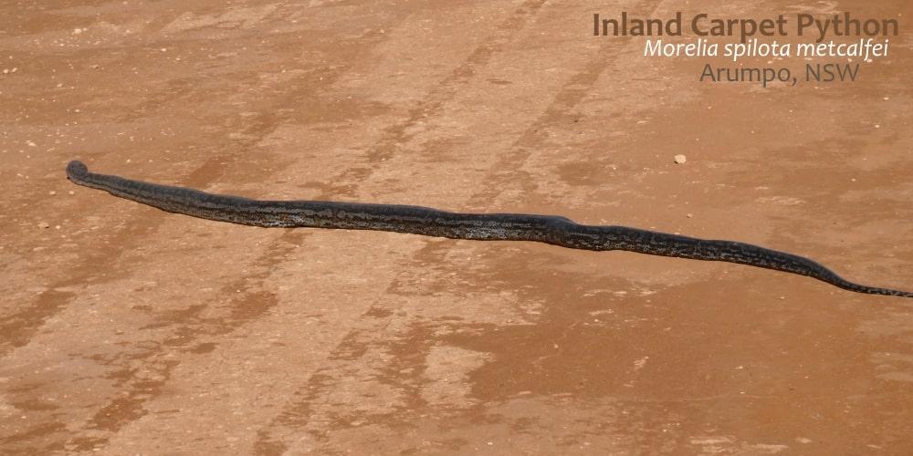 rare python Australia