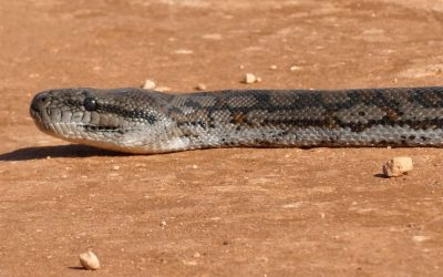 Rare reptile sighting on Mungo Outback Journey Australia