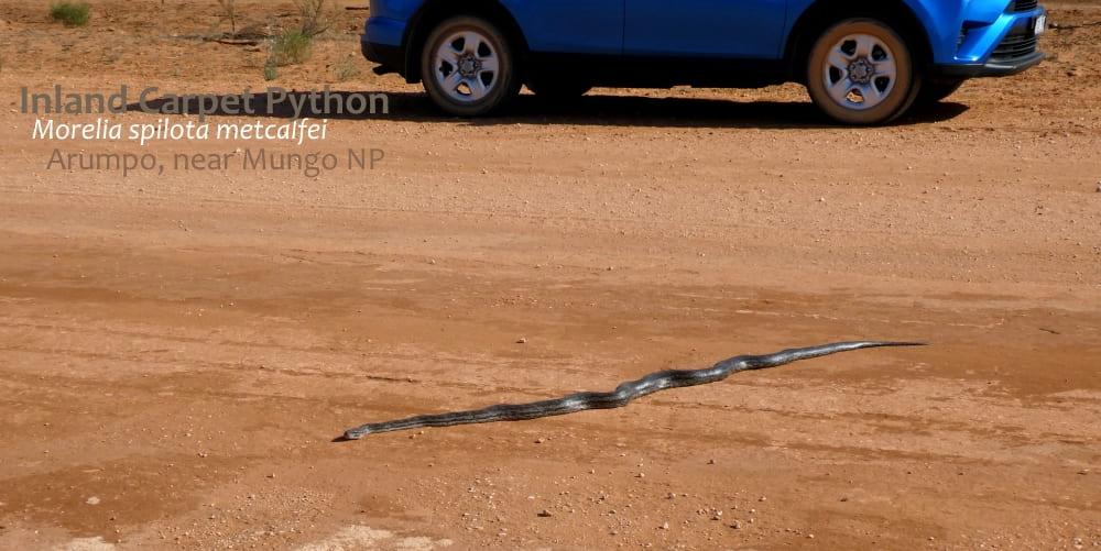 wild pythons NSW Victoria