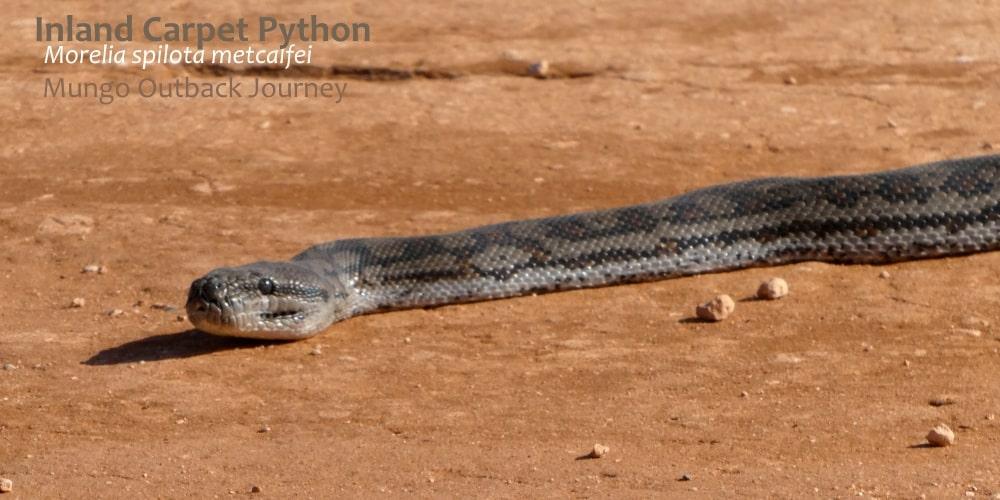 wild Inland Carpet python Australia