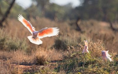 See the world's most beautiful cockatoo