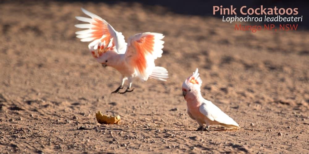 Lophochroa leadbeateri beautiful cockatoo