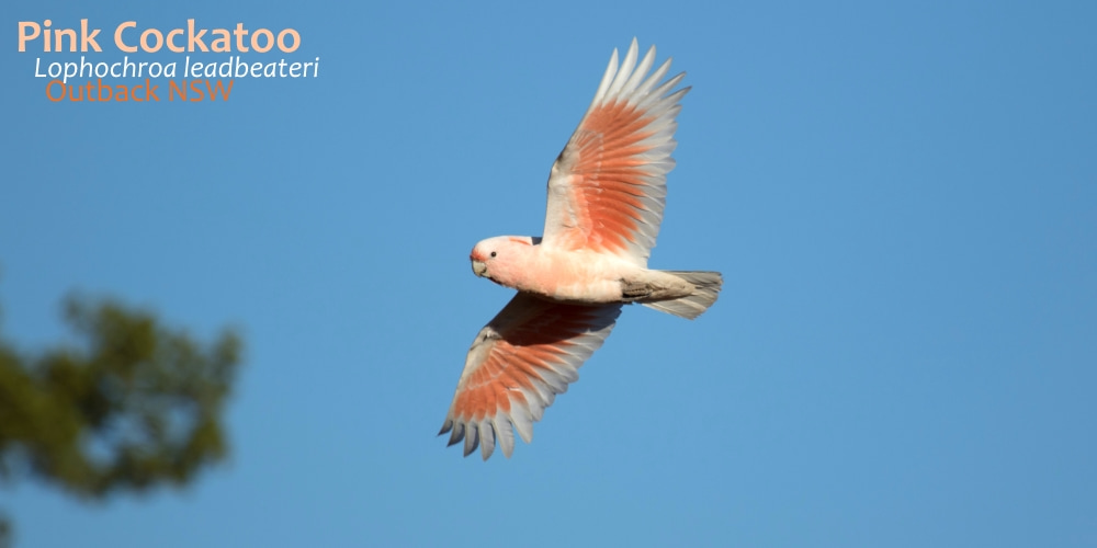most beautiful pink cockatoo flying.