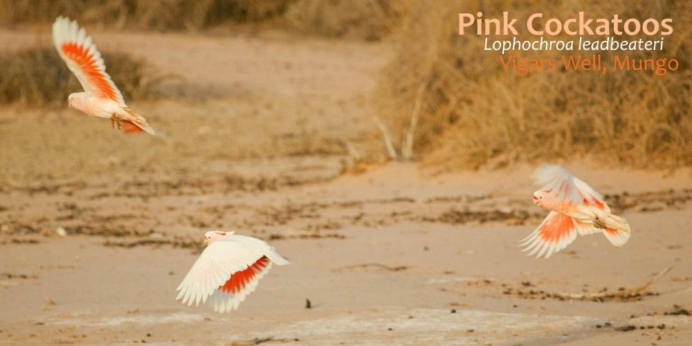 beautiful cockatoos flying Mungo.