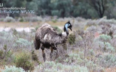 5 Amazing Facts about the Emu of Outback Australia