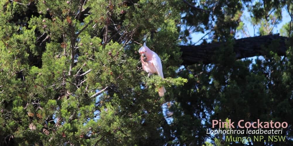 beautiful pink parrot feeding in Callitris