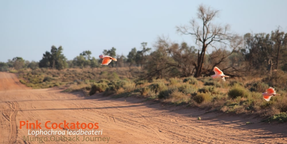 world's most beautiful cockatoo flying over red sand road.