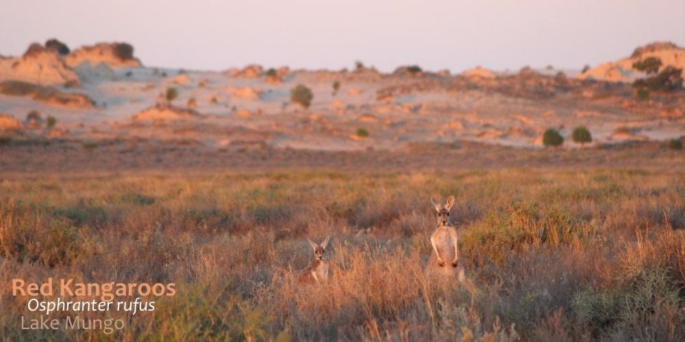 sand dunes Mungo Australia Red Kangaroo