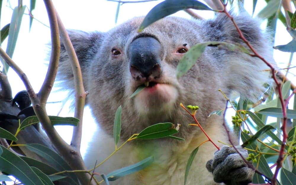different koala forests