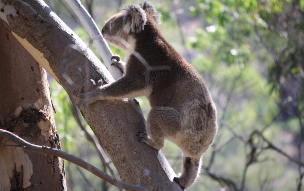 wild koala climbing up tree