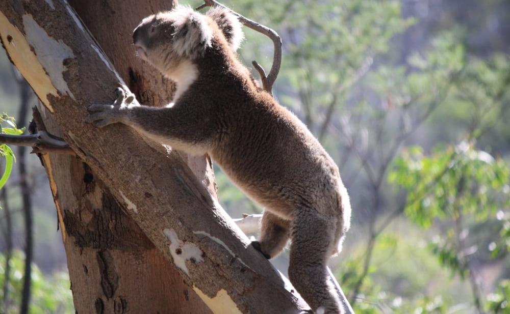 wild koala climbing day