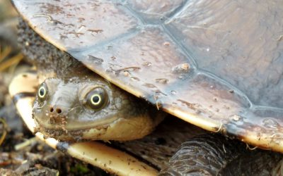 5 Amazing Facts about Eastern Snake-Necked Turtles