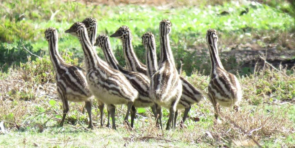 great ocean road emu chicks hatch june july august