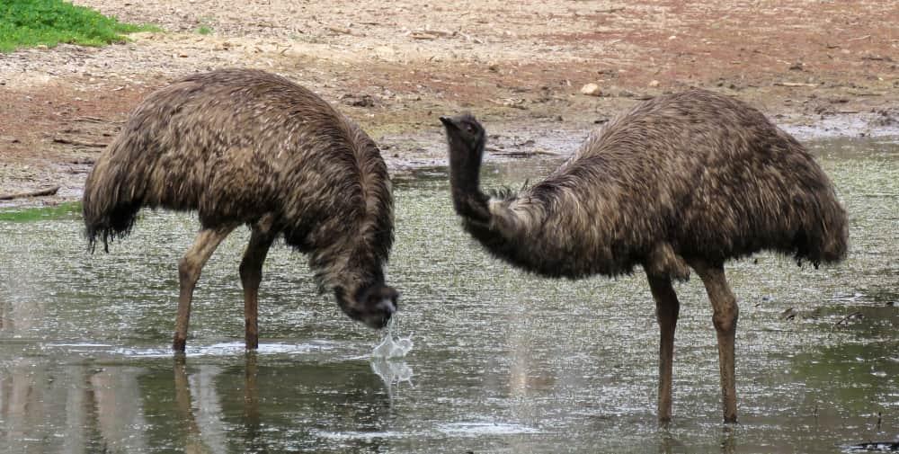 great ocean road emus drinking in rainy season
